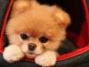 Słodki pies Boo