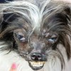 Orzeszek – najbrzydszy pies świata