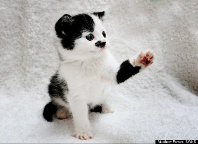 Kitler kociak podobny do Hitlera