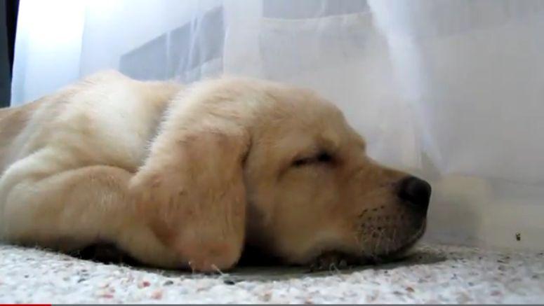 Labrador uzależniony od klimatyzacji