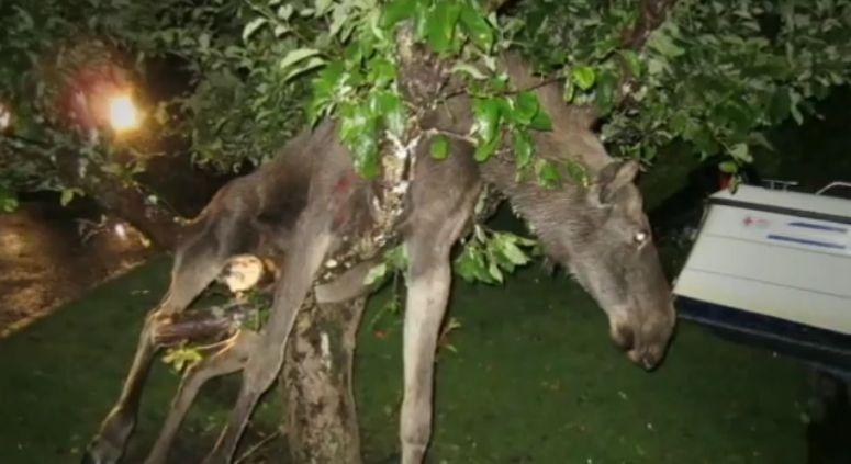 Pijany łoś zawisł na drzewie