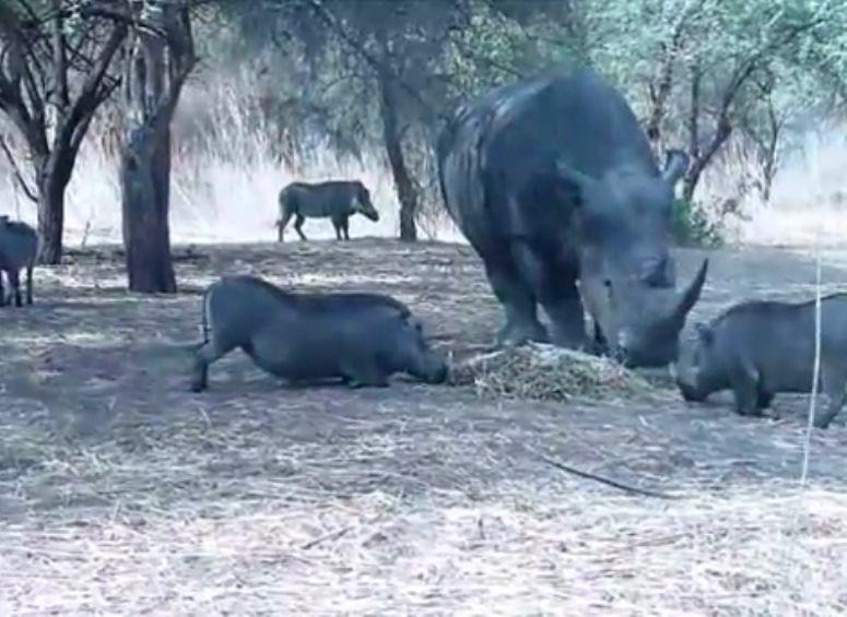 nosorożec kontra guziec