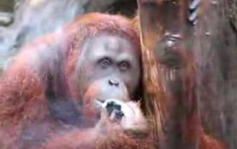 Małpa musi rzucić papierosy