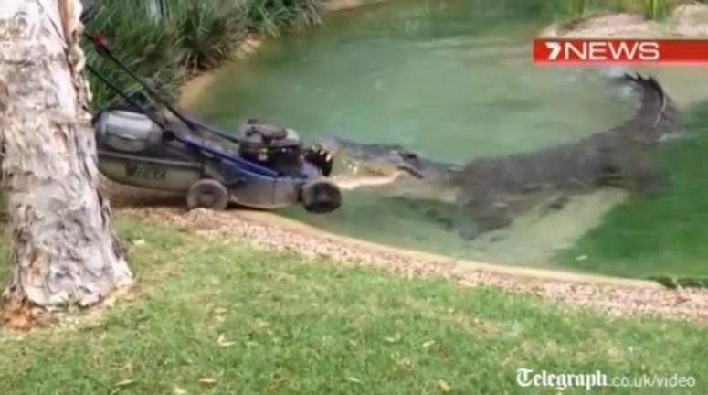 Krokodyl pogryzł kosiarkę