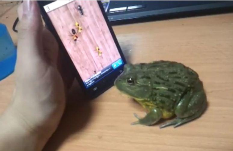 Żaba zjada mrówki z ekranu smartfona