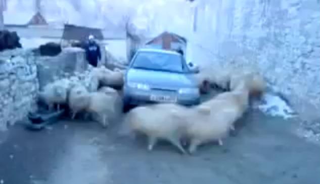 Cyklon owiec