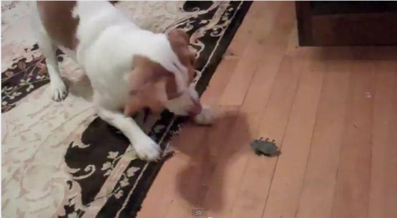 Pies rozpacza po nakręcanej myszy
