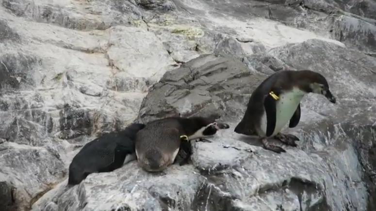 Wyjątkowo złośliwy pingwin