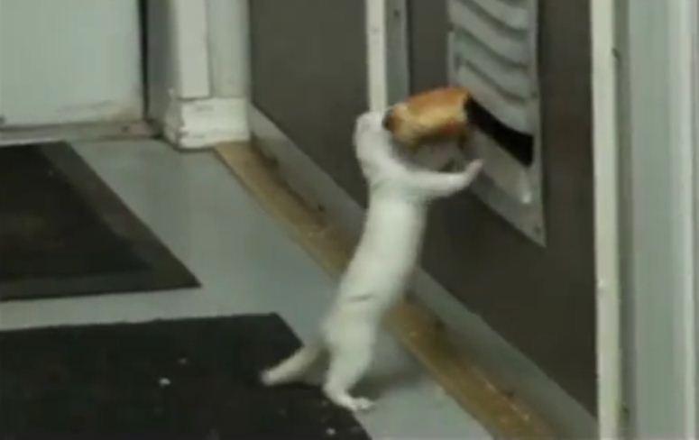 Sfrustrowana fretka kradnie jedzenie