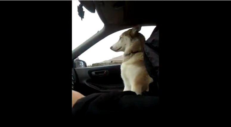 Husky domaga sie trzymania łapy podczas podróży