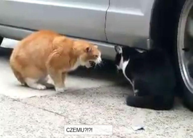 Kłótnia kotków