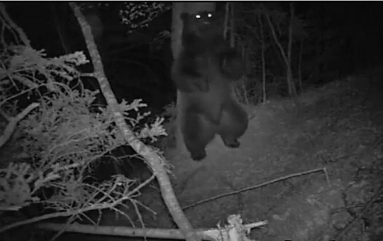 Co robią niedźwiedzie jak nie patrzymy?