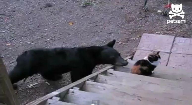 Kot, który niedźwiedzia się nie boi