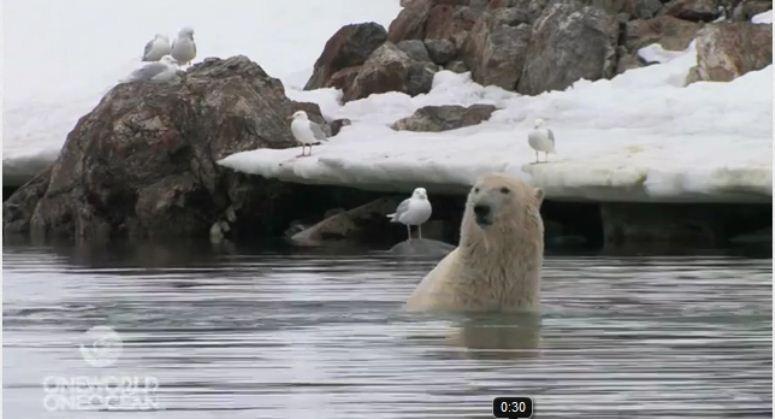 Miś polarny stoi na rękach