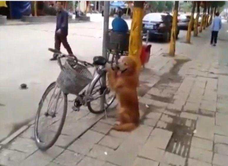 Pies pilnuje roweru swojego pana