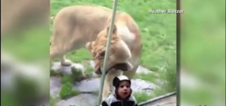 Lwica chce pożreć dziecko