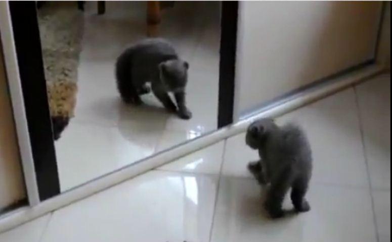 Kot boi się własnego odbicia w lustrze