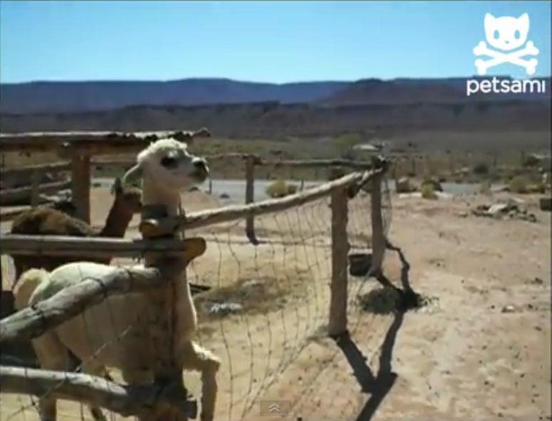 Zdenerwowana lama pluje na kobietę