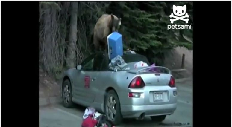 Niedźwiedź zakrada się do kabrioleta