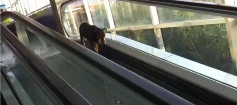 Pies próbuje pokonać schody ruchome