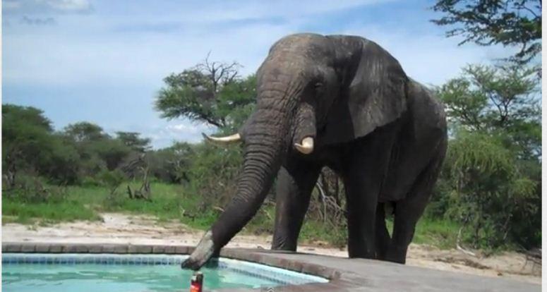 Słoń wprosił się na basenowe party