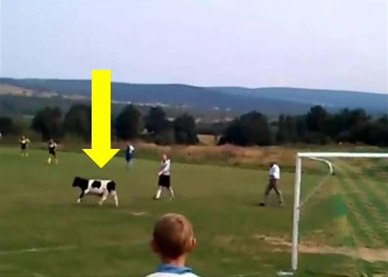 Krowa na meczu Klonówki Masłów