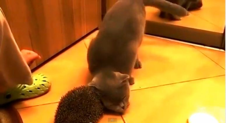 Kot, który czesze się jeżem