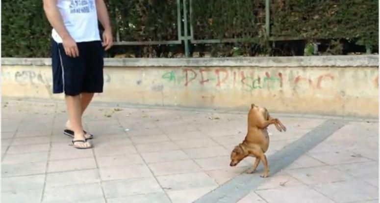 Pies - akrobata