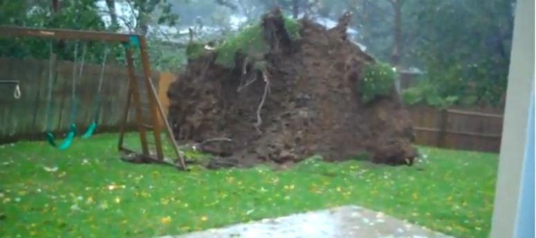 Huragan Sandy wyrywa drzewo z korzeniami