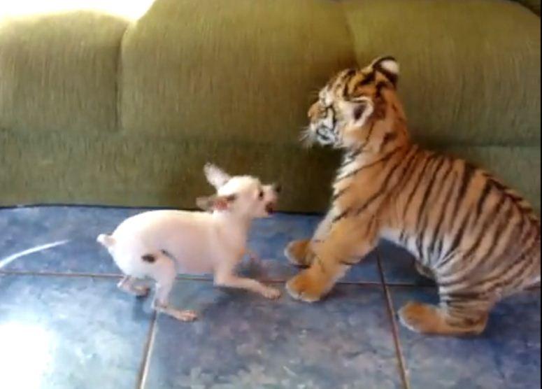 Tygrysek bawi się z psem