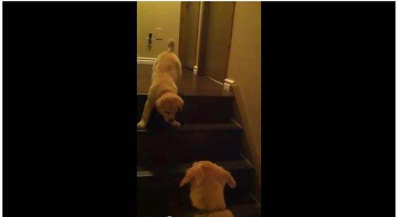 Szczeniak uczy szczeniaka jak schodzić po schodach