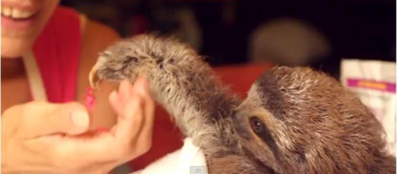 Leniwiec podrywa kobietę