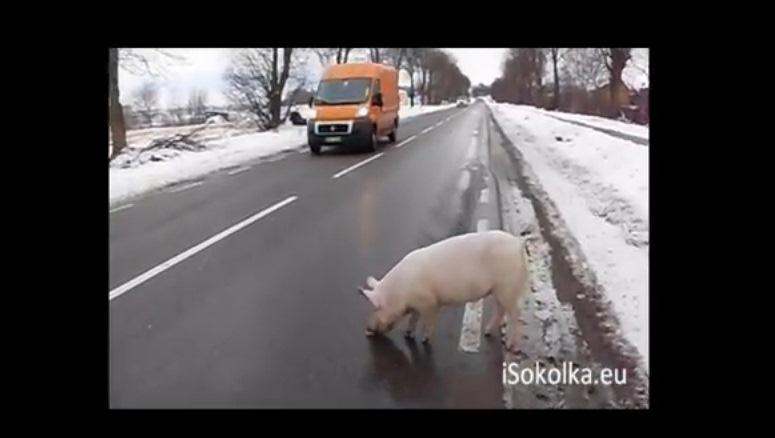 Wielka ucieczka małej świnki w Sokółce