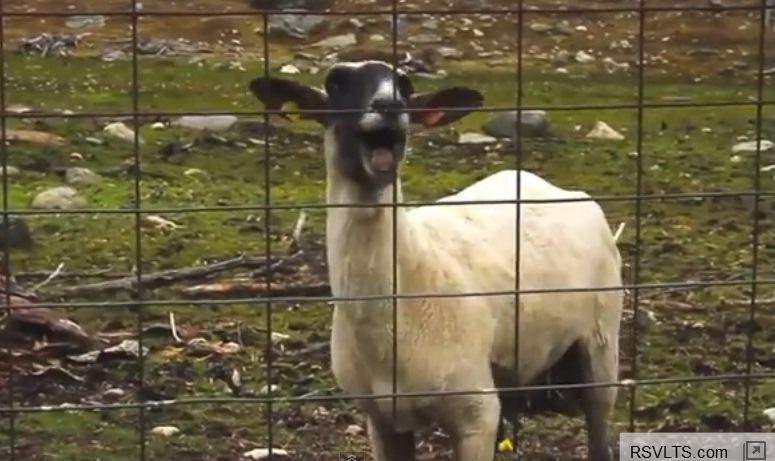 Śpiewające kozy hitem internetu