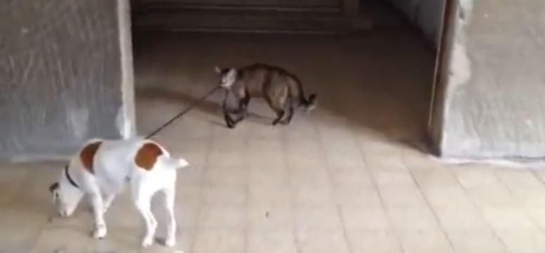 Kot wyprowadza psa na spacer