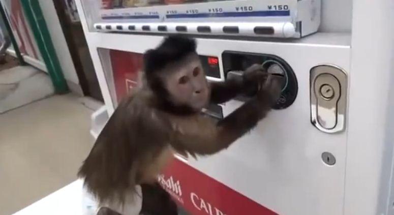 Małpka kupuje napój w automacie