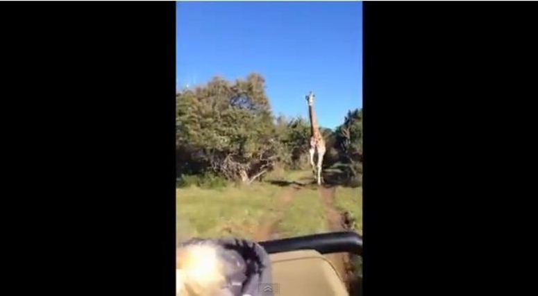 Przerażeni turyści uciekają przed rozwścieczoną żyrafą