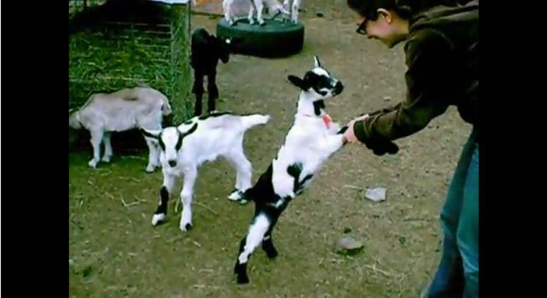 Pani stratowana przez malutkie kozy