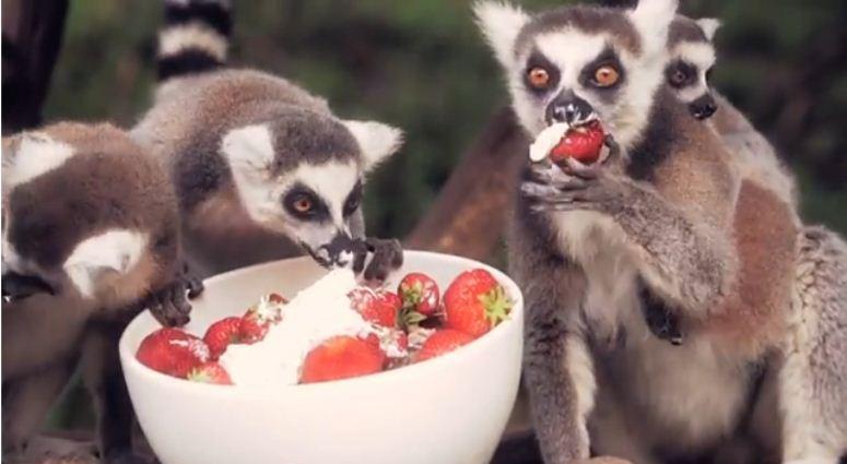 Lemury, które uwielbiają truskawki