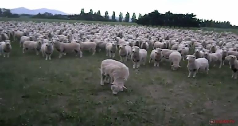 Zbuntowane owce