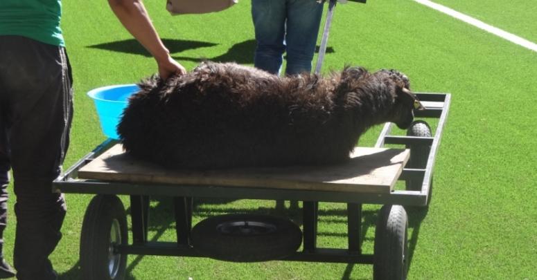 Przed meczem Szachtiora Karaganda zabito czarną owcę