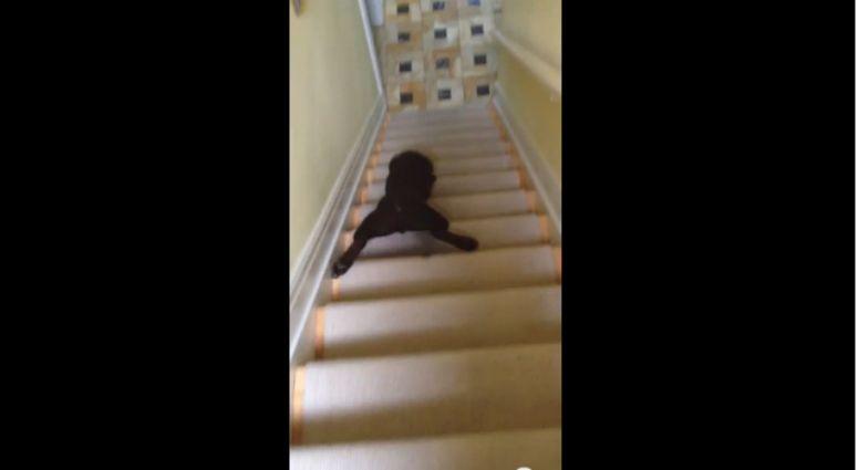 """Labrador """"schodzi"""" po schodach"""