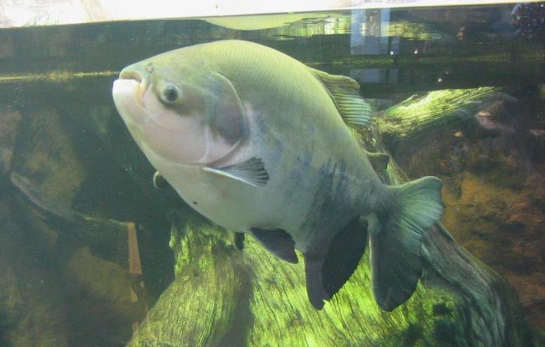 Ryba pacu sieje postrach nad Bałtykiem