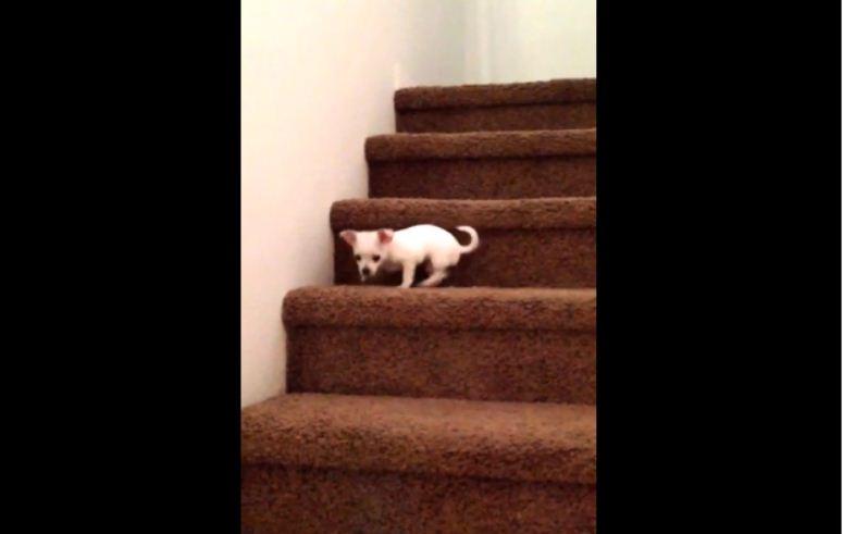Chihuahua próbuje zejść ze schodów