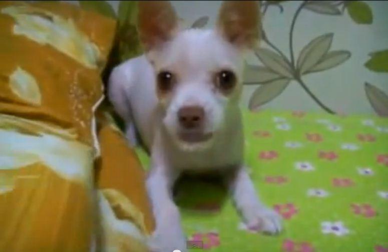 Pies zaczepia kamerę
