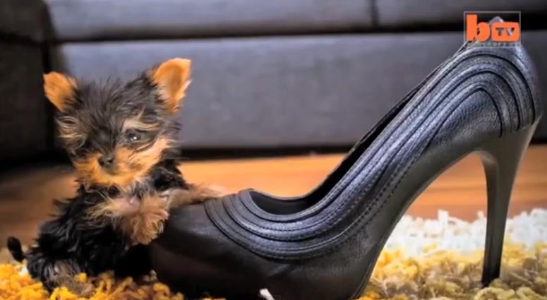 Meysi - najmniejszy pies świata