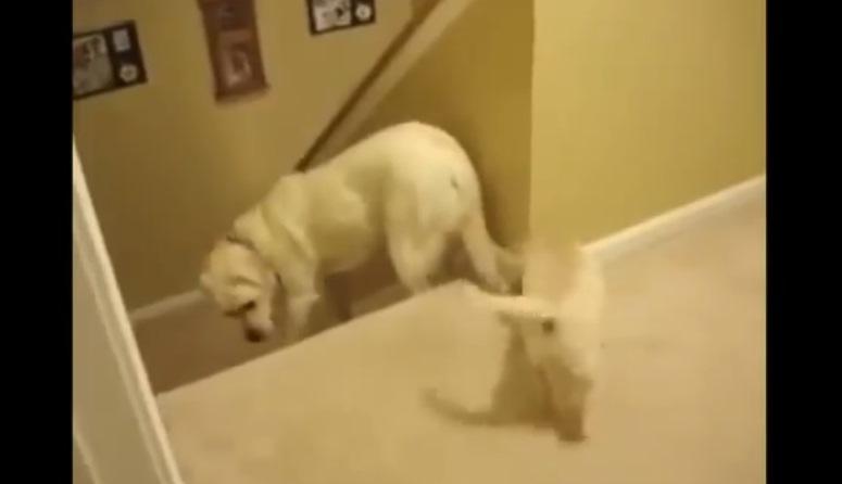 Pies uczy młode schodzić ze schodów