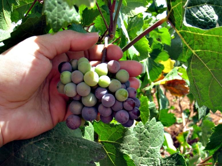 Pół roku więzienia za kradzież trzech winogron