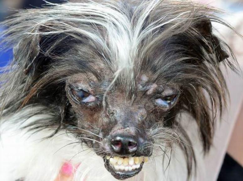Orzeszek - najbrzydszy pies świata