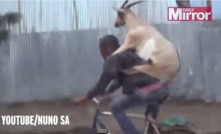 Mężczyzna jedzie z kozą na rowerze